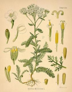 yarrow-herb-stronger-than-deet-bug-repellent-bug-spray-insect
