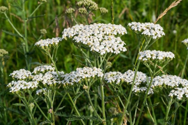 Yarrow-herbal-bug-repellant-stronger-than-deet-natural-organic